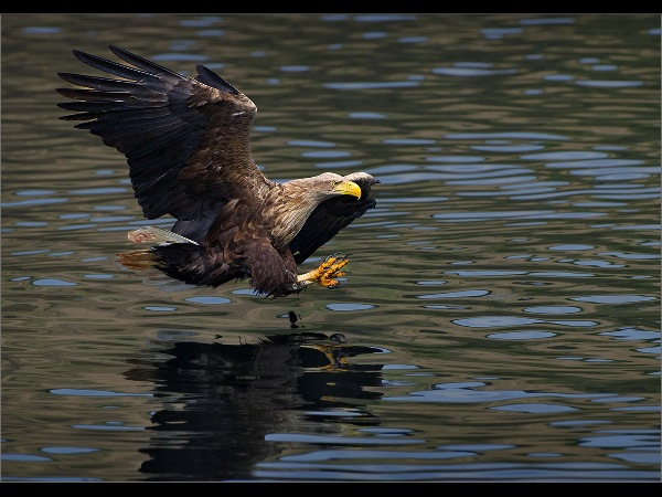 england_adrian-lines-arps-efiap-dpagb-bpe5_white-tailed-sea-eagle_digital-nature_highly-commended