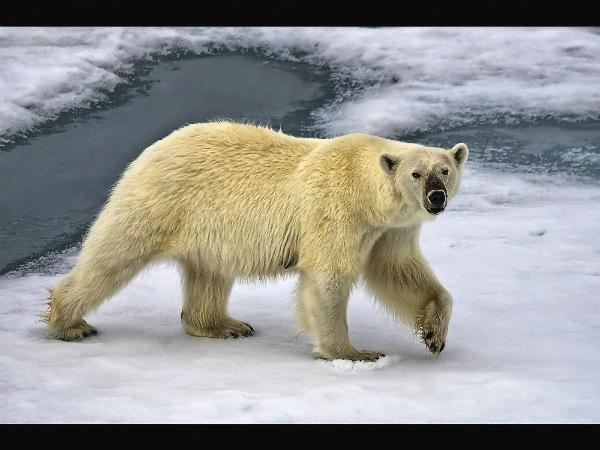 england_bernadette-kitchingman-afiap-dpagb-bpe2_polar-bear-spitsbergen_digital-nature_highly-commended