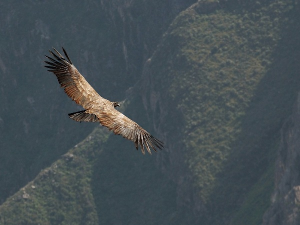 england_dick-prior-arps-bpe3_andean-condor_digital-nature_highly-commended