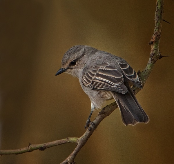 england_fred-price-dpagb-bpe3-efiap_african-grey-flycatcher_digital-nature_highly-commended
