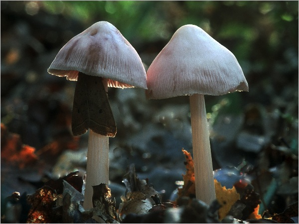 england_jane-rees-lrps_lilac-mycena_digital-nature_commended