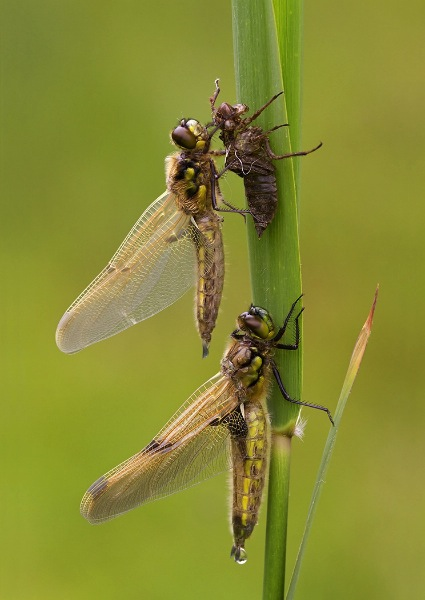 england_kevin-elsby-frps-afiap-dpagb_four-spotted-chaser-dragonflies-emerging_digital-nature_highly-commended