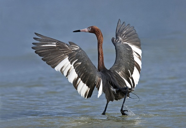 england_mary-cantrille-frps-mpagb-efiap_reddish-egret-fishing_digital-nature_highly-commended