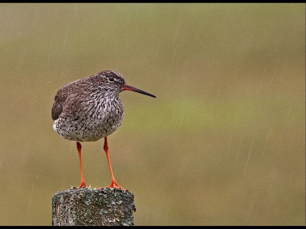 england_neil-malton-dpagb_redshank-in-rain_digital-nature_highly-commended