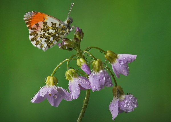 england_pete-norwood-mpagb_orange-tip_digital-nature_psa-silver-medal