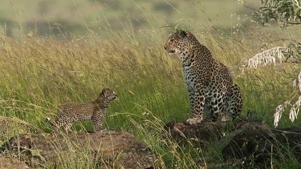 england_ralph-snook-afiap_leopard-adult-and-cub_digital-nature_highly-commended
