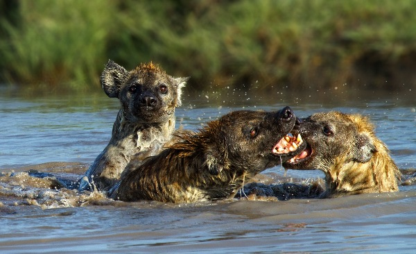 england_veronica-rice-dpagb_spotted-hyaena-fighting_digital-nature_highly-commended