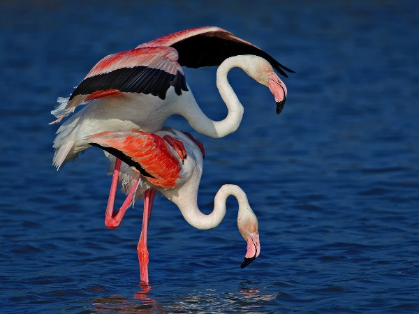 france_roger-jourdain-psacs5-psand5_mating-pink-flamingos_digital-nature_highly-commended