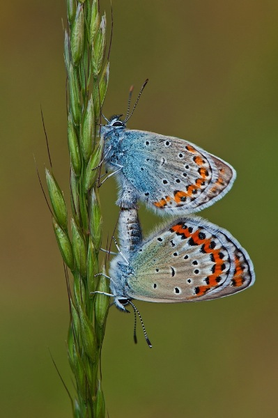 germany_birgit-pustelnik-afiap_common-blues-mating_digital-nature_highly-commended