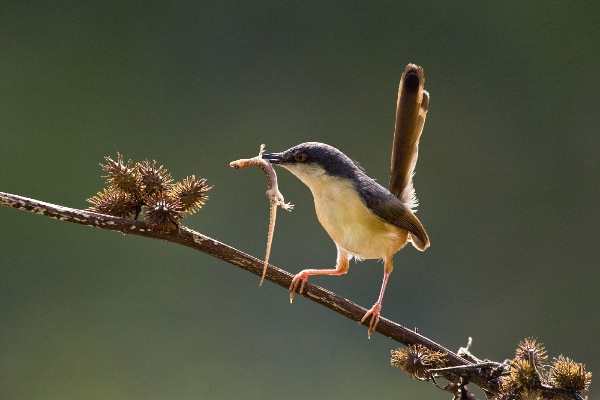 india_sp-nagendra-arps-afiap_ashy-prinia-with-feed_digital-nature_highly-commended