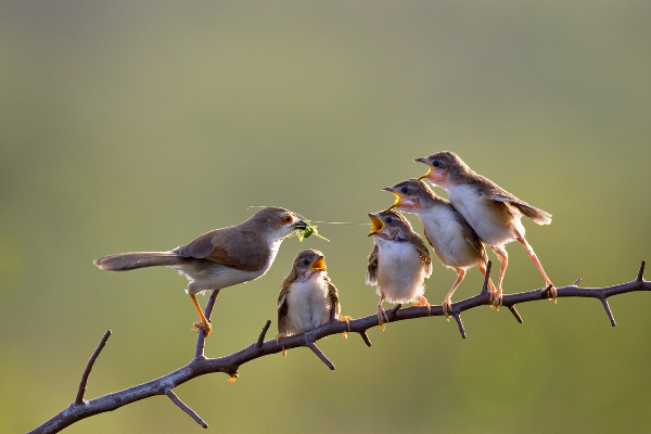 india_sp-nagendra-arps-afiap_yellow-eyed-babbler_digital-nature_highly-commended