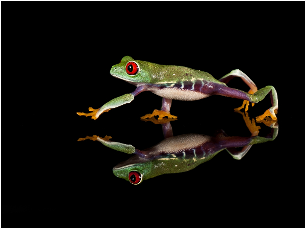 wales_trevor-owen_red-eyed-tree-frog-reflection_digital-opengeneral_highly-commended