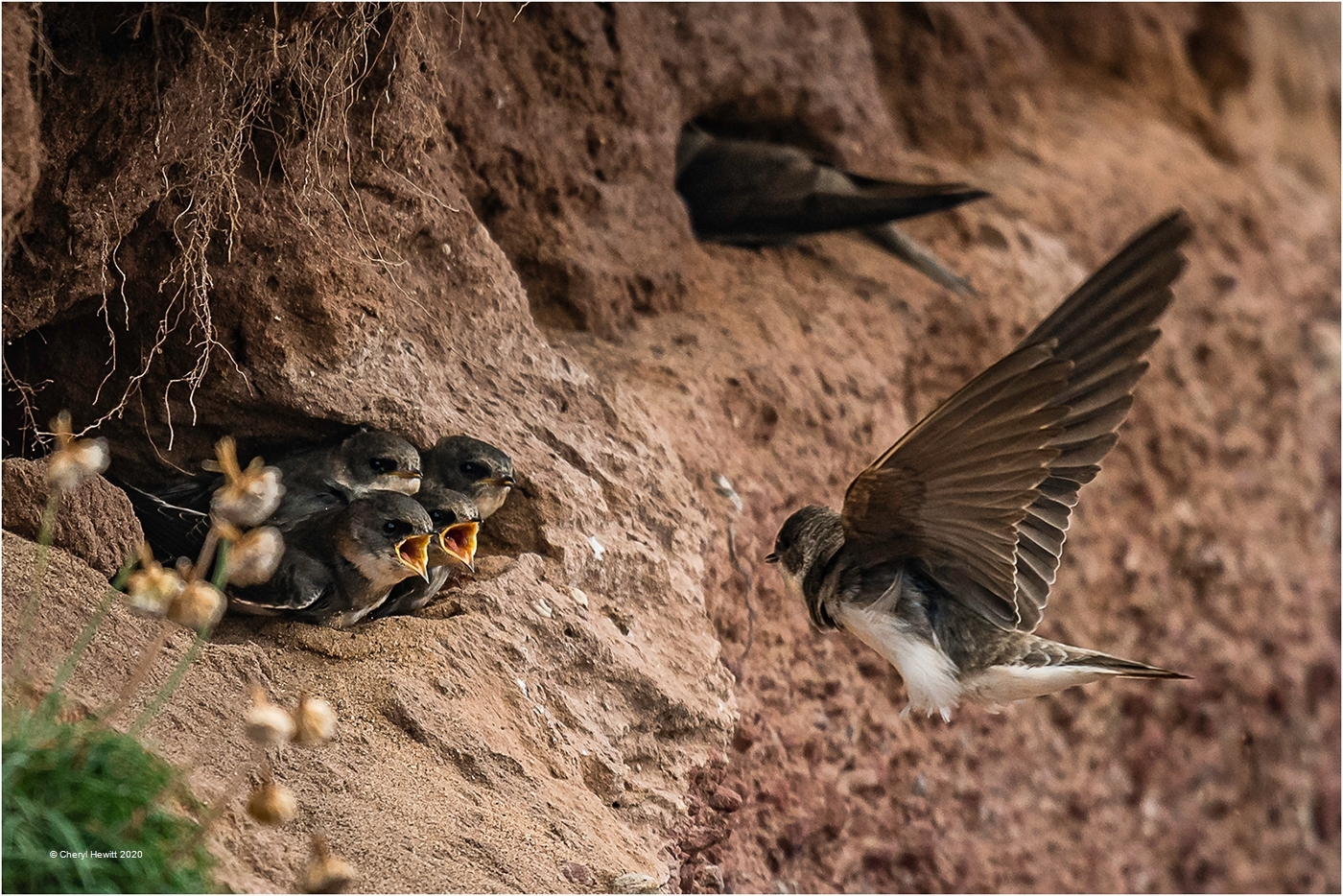 Cheryl-Hewitt_Tenby-District-Camera-Club_Incoming-for-the-Sand-Martins