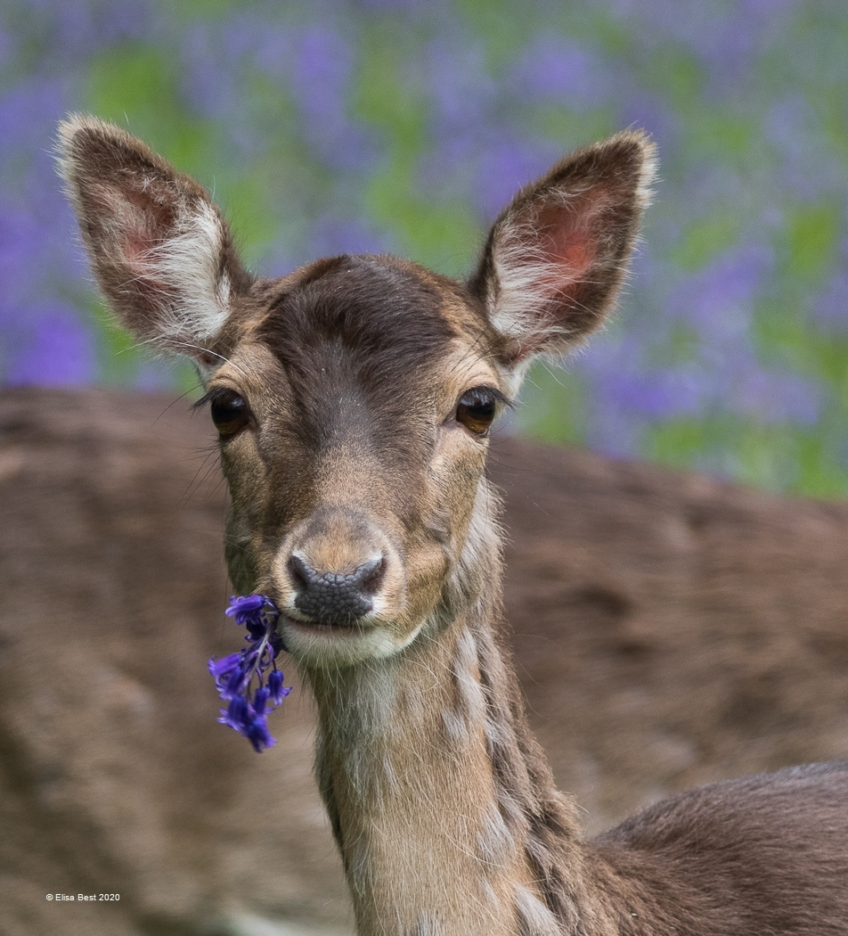 Elisa-Best_Monmouth-Photographic-Club_Deer-with-Bluebell