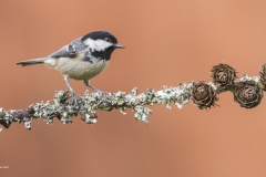 Alec-Stewart-AWPF_Gwynfa-Camera-Club_Coal-Tit