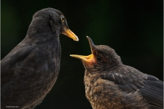 Geoffrey-Baker_Pyle-Porthcawl-Photographic-Society_Blackbirds-Feeding