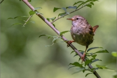 Heather-Digweed-CPAGB_Baglan-Bay-Photographic-Society_Posing-Wren