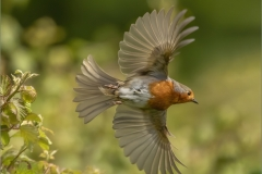 Heather-Digweed-CPAGB_Baglan-Bay-Photographic-Society_Robin-in-Flight
