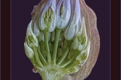 Michael-Davies-ARPS-AWPF-DPAGB_Vale-Photographic-Club_Chives-Bud-in-Section