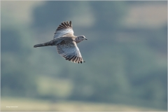 Roger-Daniel_Bridgend-District-Camera-Club_Collared-Dove-in-Flight