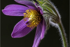 Roger-Thomas-ARPS-Mr-Mr_Bridgend-District-Camera-Club_Pasque-Flower