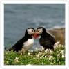 _10 canoodling puffins1.jpg