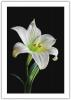 WHITE LILY - BLACK BACKGROUND.jpg