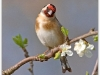 goldfinch..jpg