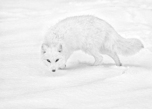 arctic fox (1).jpg