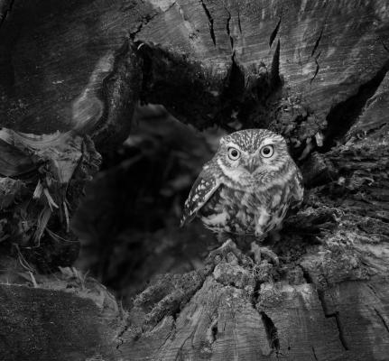 little owl mono (3).jpg