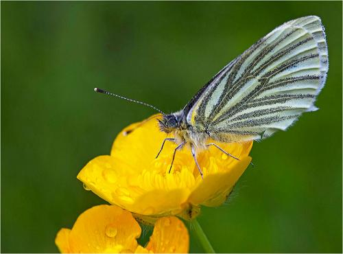 331-Green_veined_White_butterfly.jpg