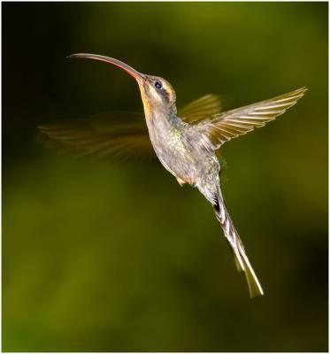 109-Hermit-Hummingbird.jpg