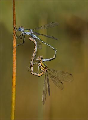 128-Emerald-Damselflies-Mating-Wheel.jpg