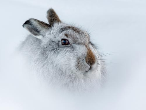 221-Mountain-Hare-(Lepus-Timidus).jpg