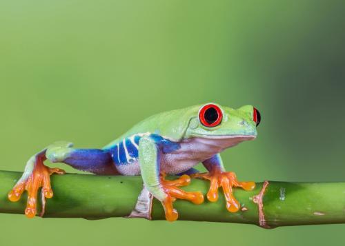 329-Red-eyed-Frog.jpg