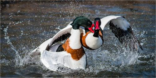 331-Male-shelducks-fighting.jpg