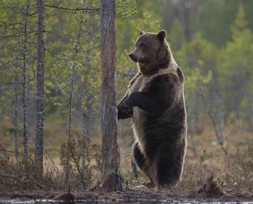 113 Brown Bear in Forest.jpg