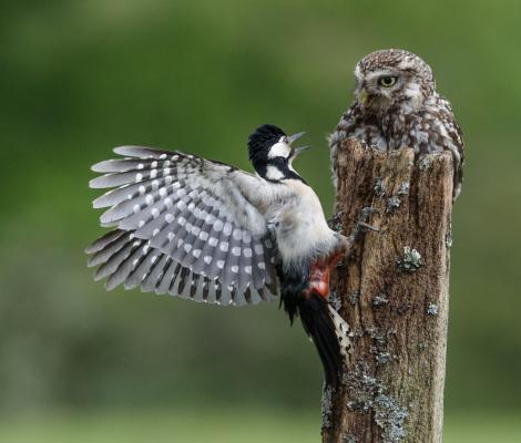 115 Little Owl vs Woodpecker.jpg