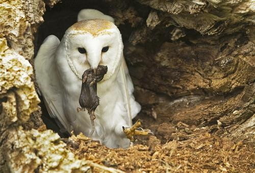 128 Barn Owl in hollow log.jpg