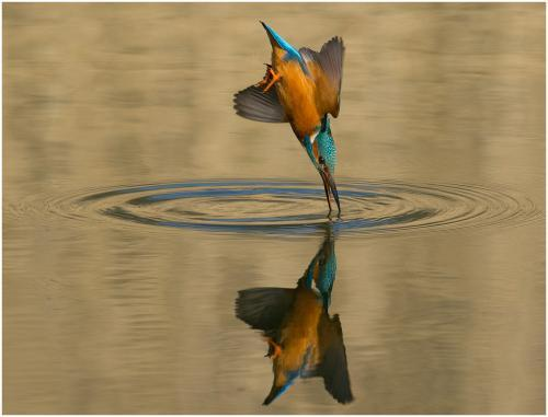 139 Diving Kingfisher.jpg