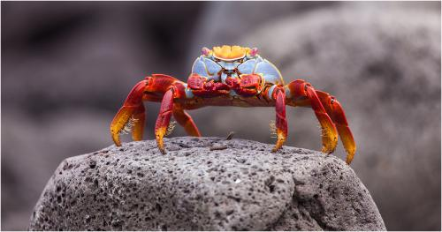 218 Sally Lightfoot Crab.jpg