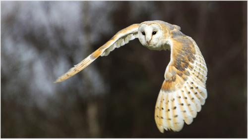 310 Barn Owl in flight.jpg