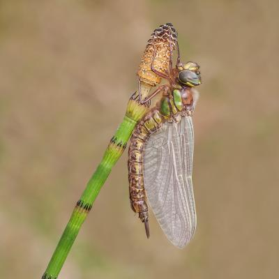 316 Hairy Dragonfly on Horsetail.jpg
