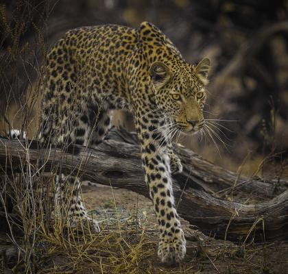 322 Stalking_Leopard.jpg