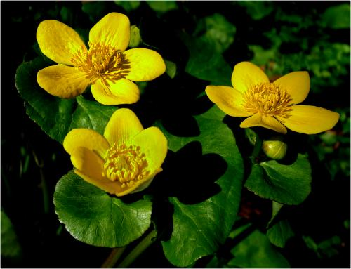 324 Marsh Marigolds.JPG