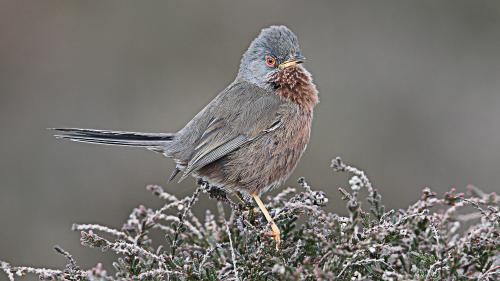 414 Perched Dartford Warbler.jpg