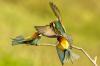 105 Bee Eaters.jpg