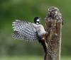 115 Little Owl vs Woodpecker.jpg