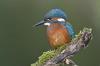 135 Juvenile Kingfisher.jpg