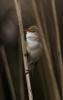 224 Reed Warbler.jpg